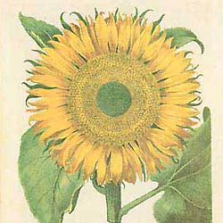 Basilius Besler, Sunflower BE9