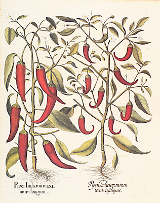 Red peppers by Besler